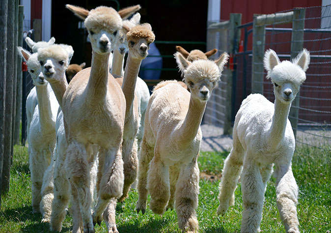 Our Little World Alpacas LLC