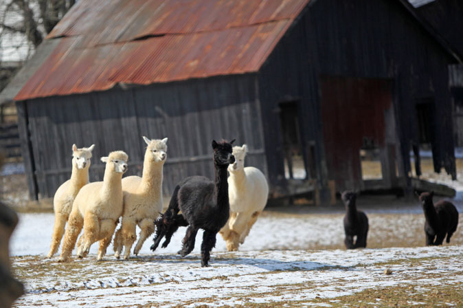 Eagle Bend Alpacas LLC